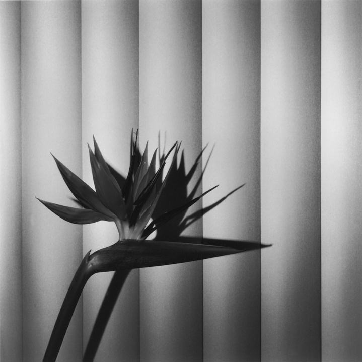Robert Mapplethorpe Bird of Paradise, 1981 50.8 x 40.6 cm (20 x 16 in) Silver gelatin print