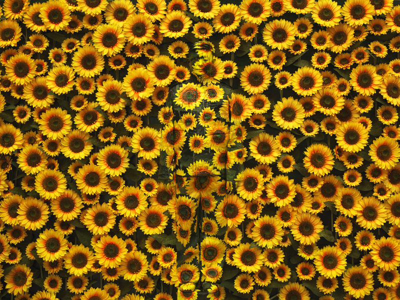 Sunflower I, série Hiding in the city, 2002; © Liu Bolin, courtesy of the artist / Galerie Paris-Beijing