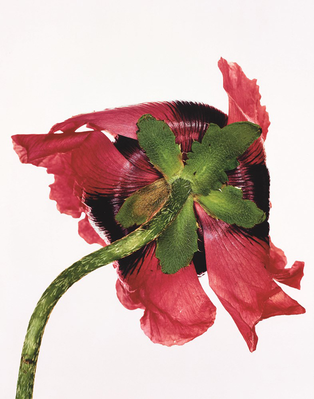 "Irving Penn, ""Single Oriental Poppy"", New York, 1968  Promised Gift of The Irving Penn Foundation © The Irving Penn Foundation"
