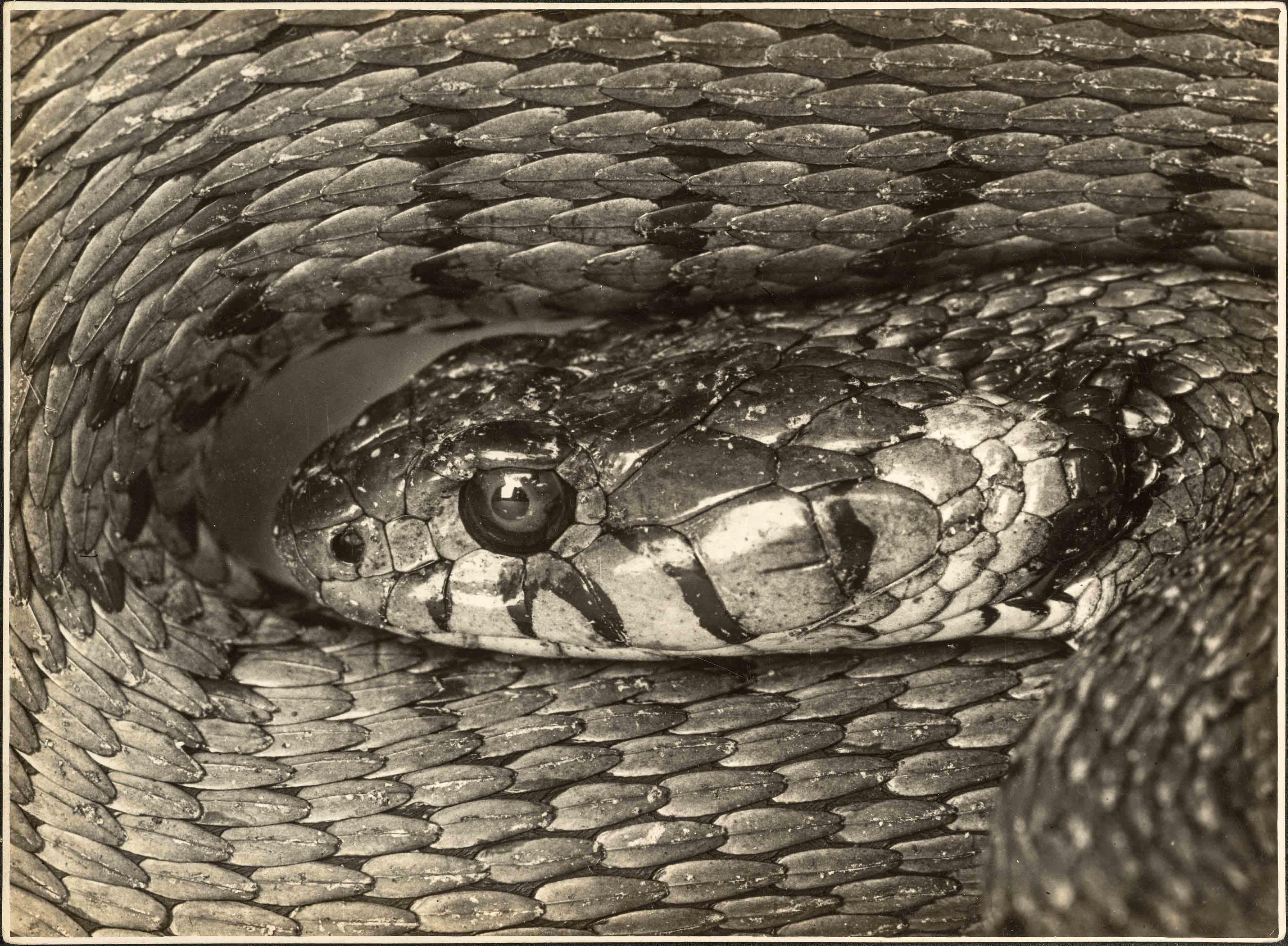 ALBERT RENGER-PATZSCH — Natterkopf [Tête de couleuvre], 1925 Galerie Berinson, Berlin © Albert Renger-Patzsch / Archiv Ann und Jürgen Wilde, Zülpich / ADAGP, Paris 2017