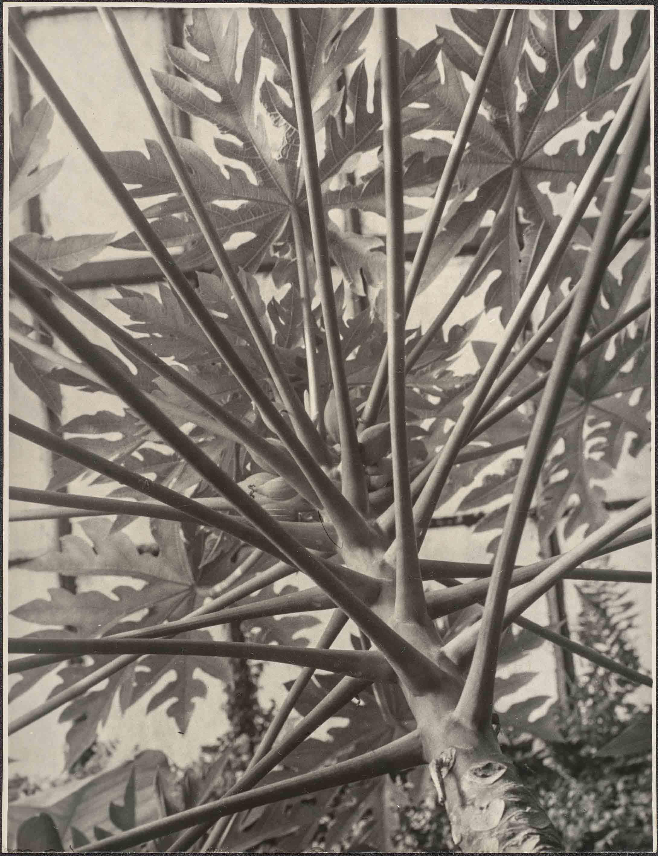 ALBERT RENGER-PATZSCH — Brasilianischer Melonenbaum von unten gesehen, 1923 [Melon des tropiques (papayer), vu d'en bas] Galerie Berinson, Berlin © Albert Renger-Patzsch / Archiv Ann und Jürgen Wilde, Zülpich / ADAGP, Paris 2017