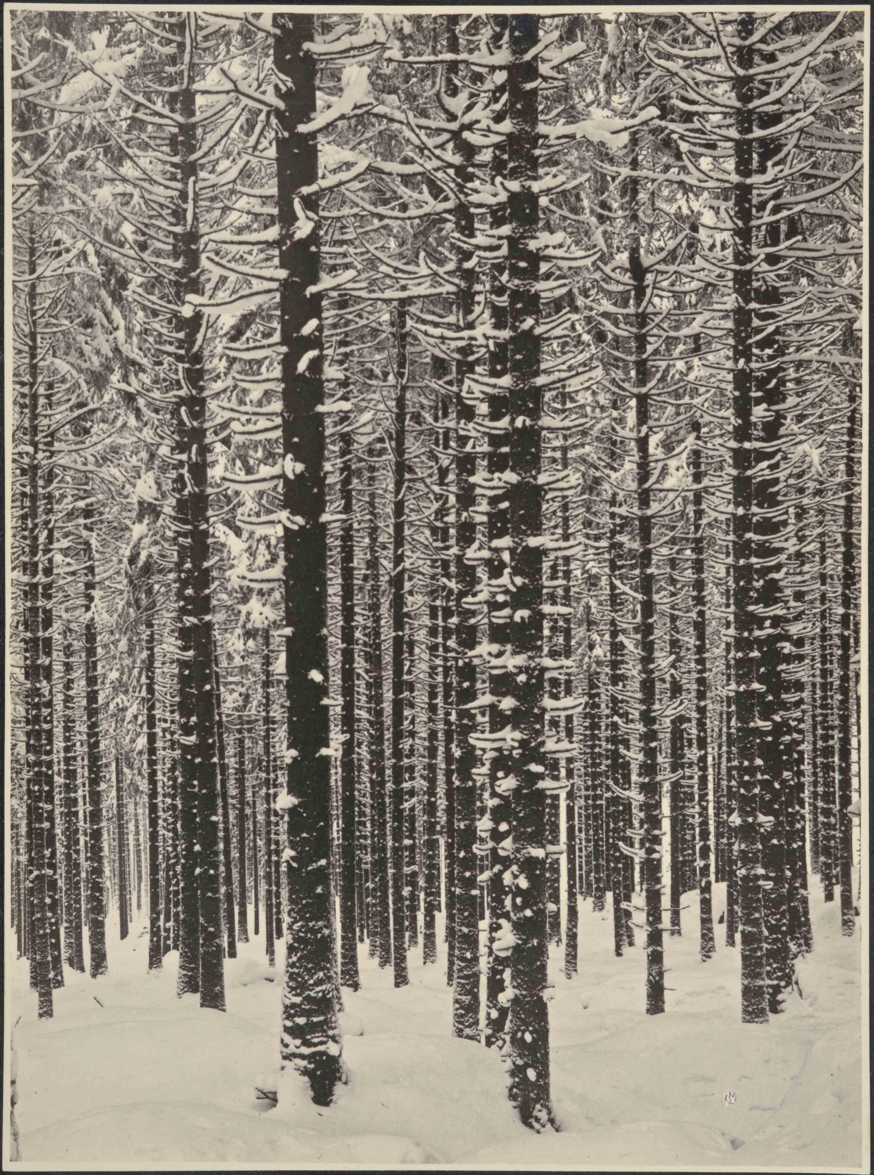 ALBERT RENGER-PATZSCH — Gebirgsforst im Winter (Fichtenwald im Winter) [Forêt de montagne en hiver (forêt de sapins en hiver)], 1926 Galerie Berinson, Berlin © Albert Renger-Patzsch / Archiv Ann und Jürgen Wilde, Zülpich / ADAGP, Paris 2017