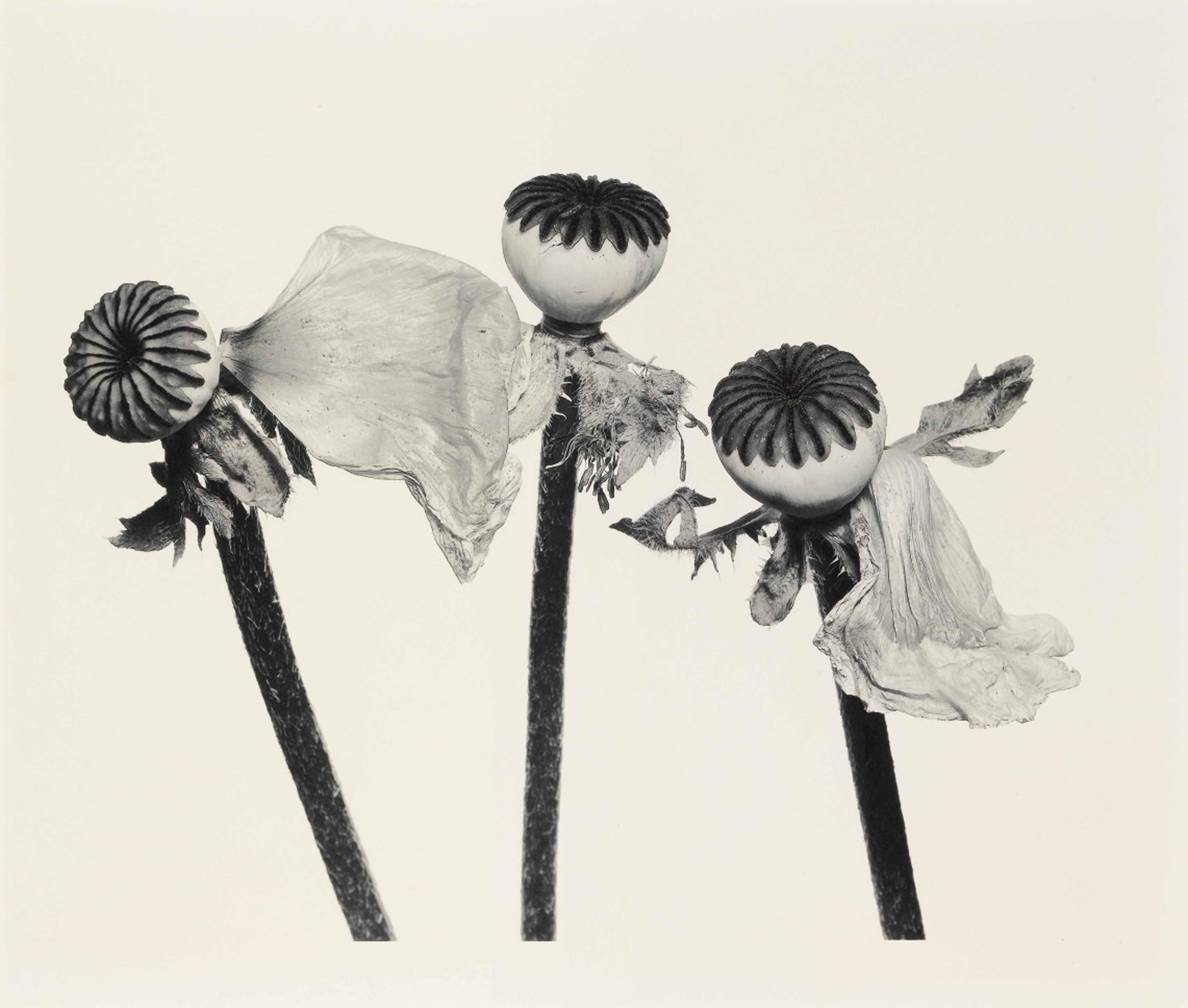 Irving Penn_Single Oriental Poppy