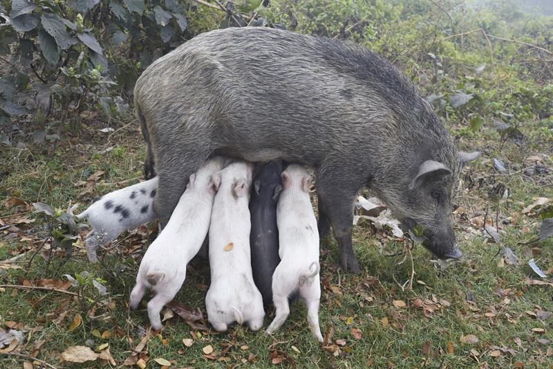 Wildschweinmutter, Kolkata, India 2014