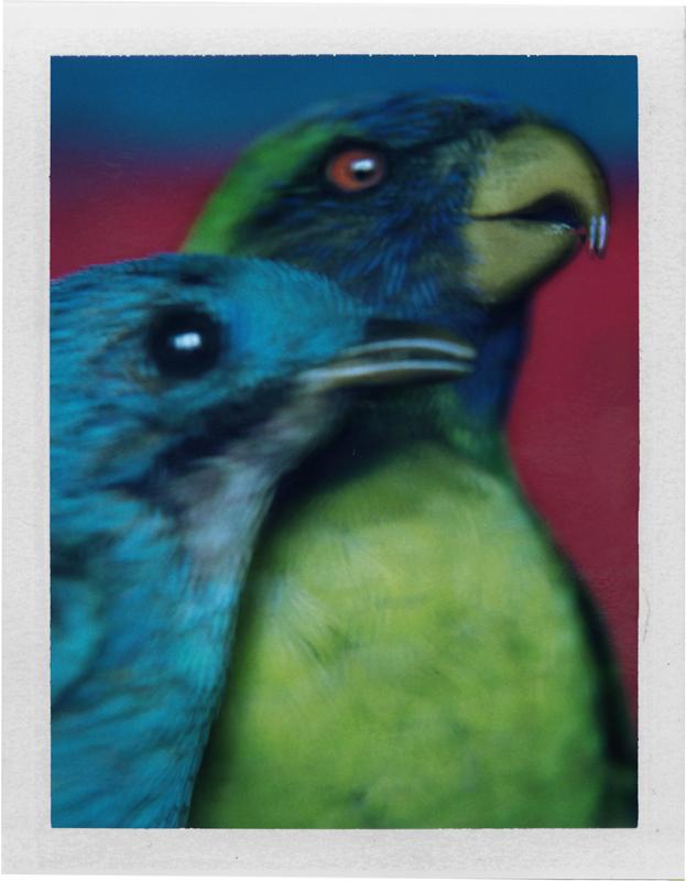 Cotinga du Pérou et Trichoglossus du Timor, 2000 © Sarah Moon / Courtesy Fondazione Sozzani