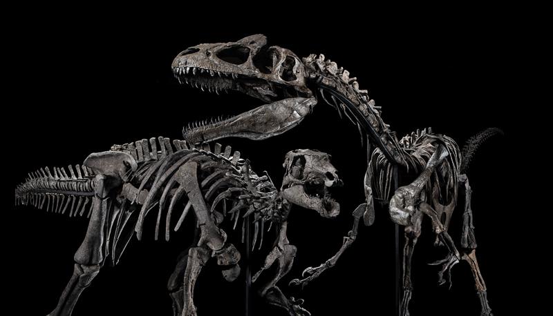 A gauche : squelette de Allosaurus Jimmadseni. A droite : squelette de Camptosaurus Dispar.