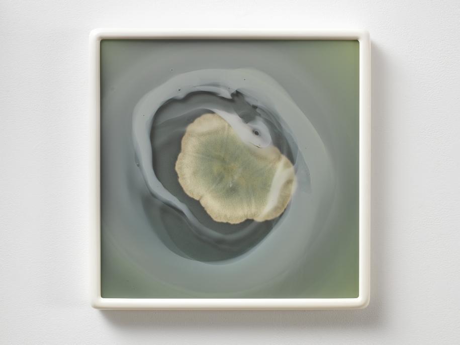 Dove Allouche à la galerie gb agency. Aspergillus versicolor 2016 R26 (MA) #21 2017 Photolithographie et cive en verre souffé. framed: 48 x 48 cm Unique Photo: Andr. Morin