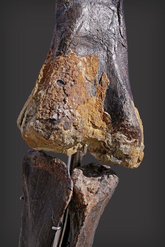 Fragments de peaux visibles sur le squelette Skinny©Aguttes