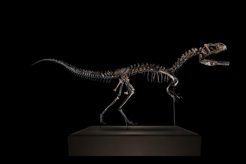 Squelette d'Allosaurus Jimmadseni © Artcurial