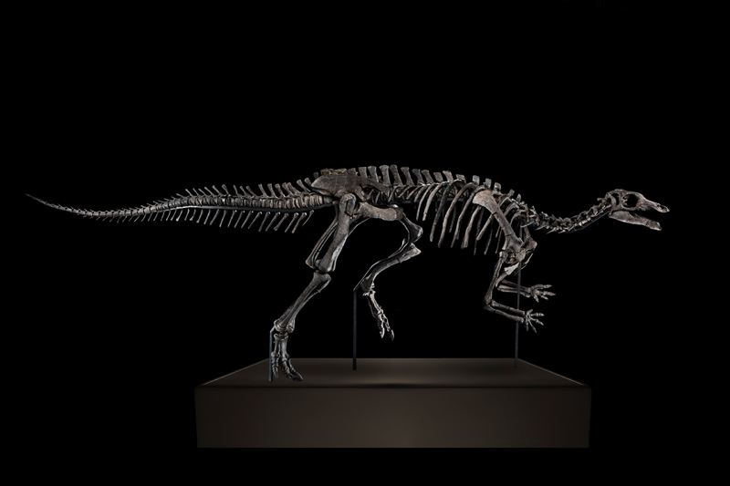 Squelette de CamptosaurusDispar © Artcurial