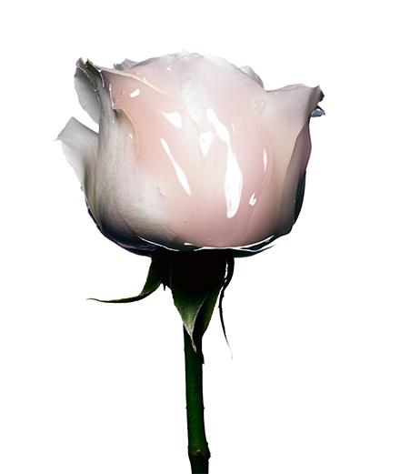 Éclosion, la rose photographiée par Guido Mocafico